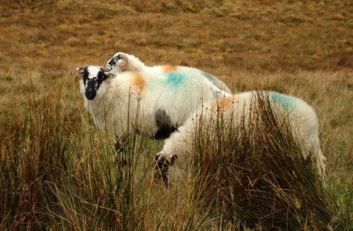 moutons_irlande.jpg